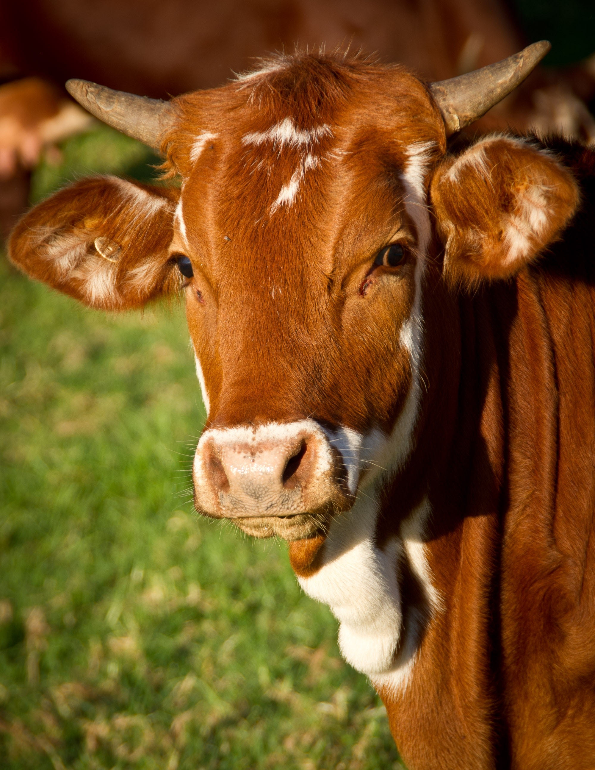 A beautiful beef-brown-bull, because Dina loves cows.