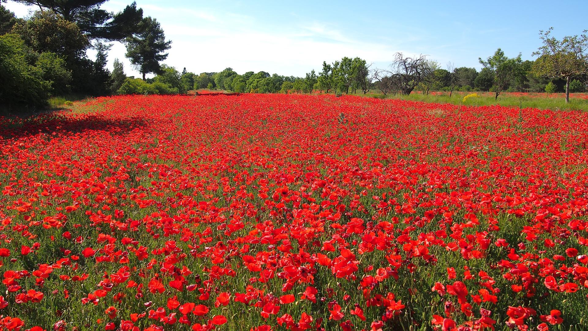 poppies-1762768_1920.jpg