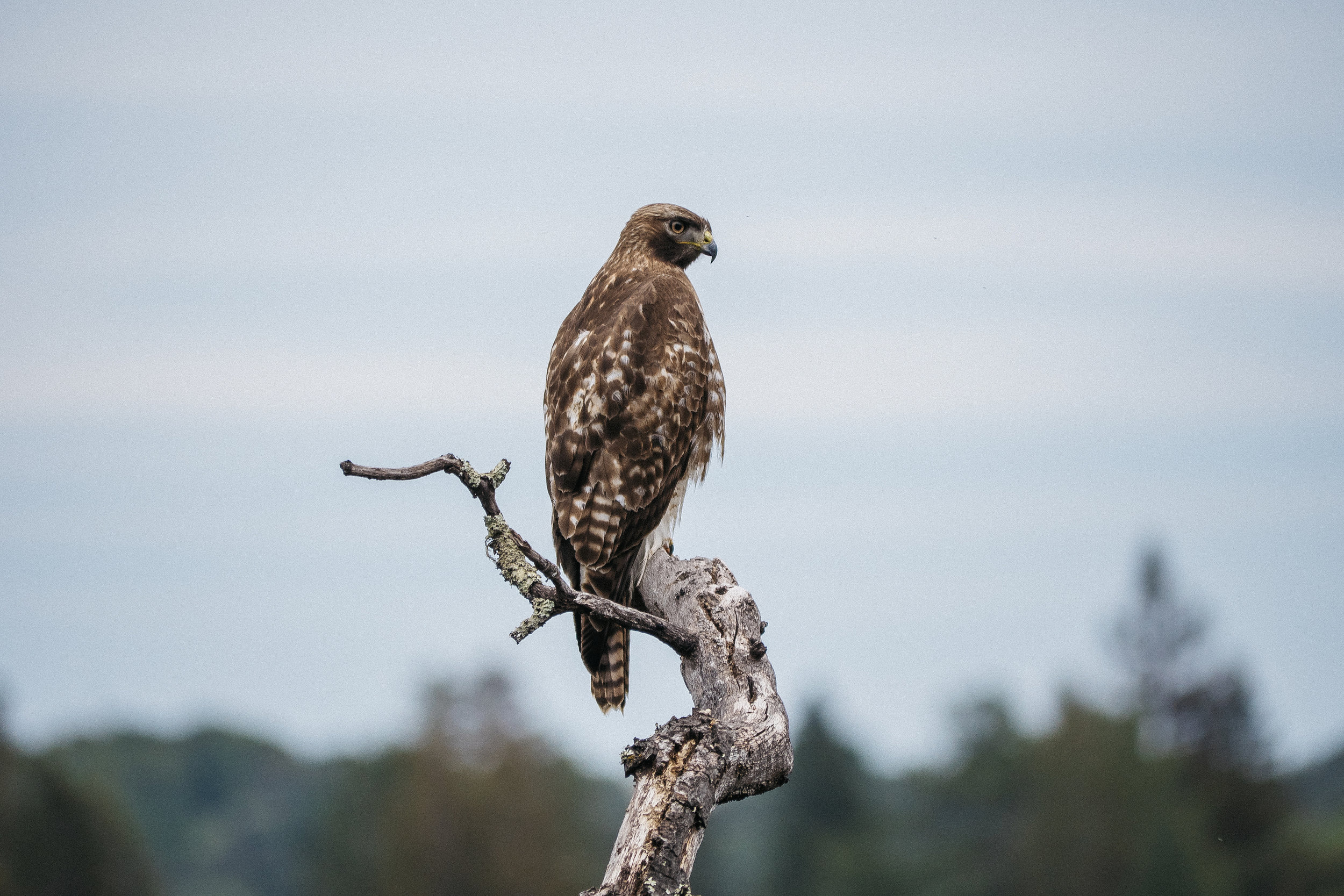 Red Tailed Hawk - Windy Hill Preserve, California - 2018
