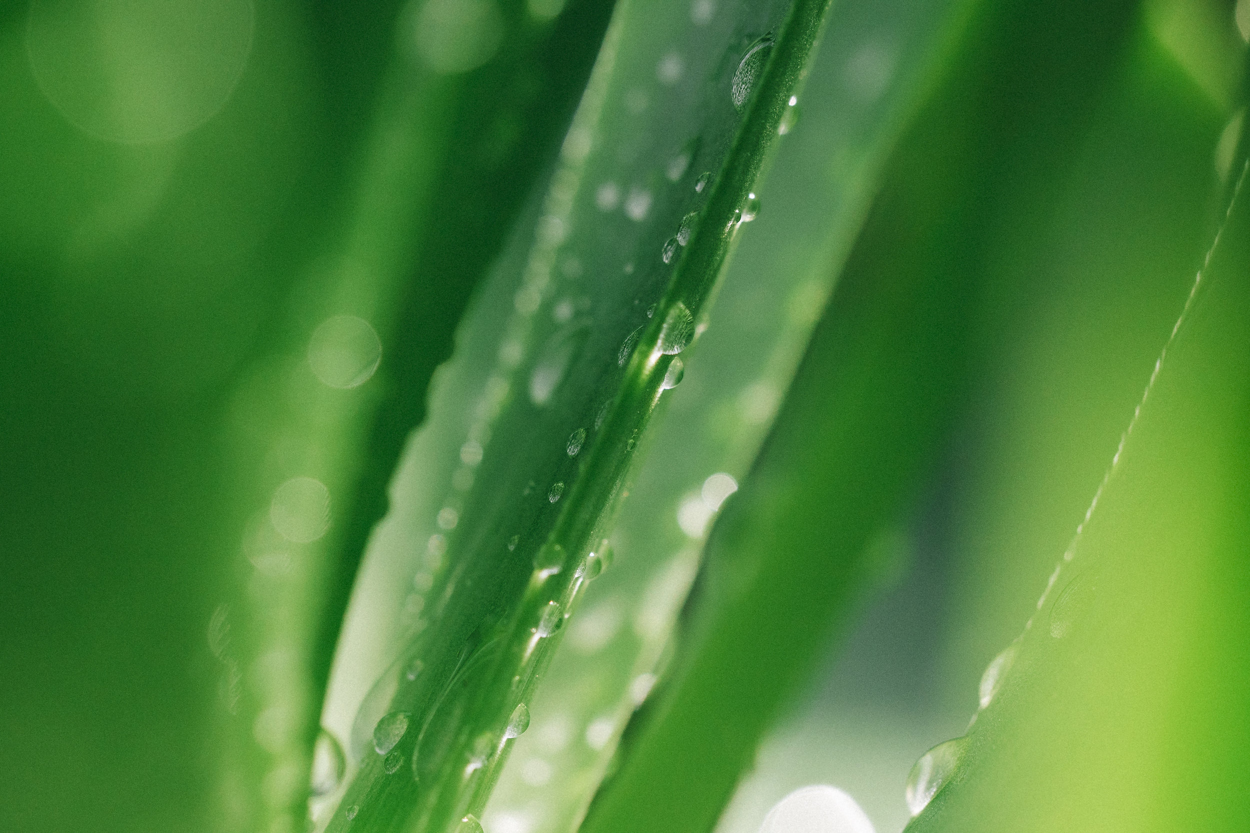 Dew on Aloe Vera - California, USA - 2018