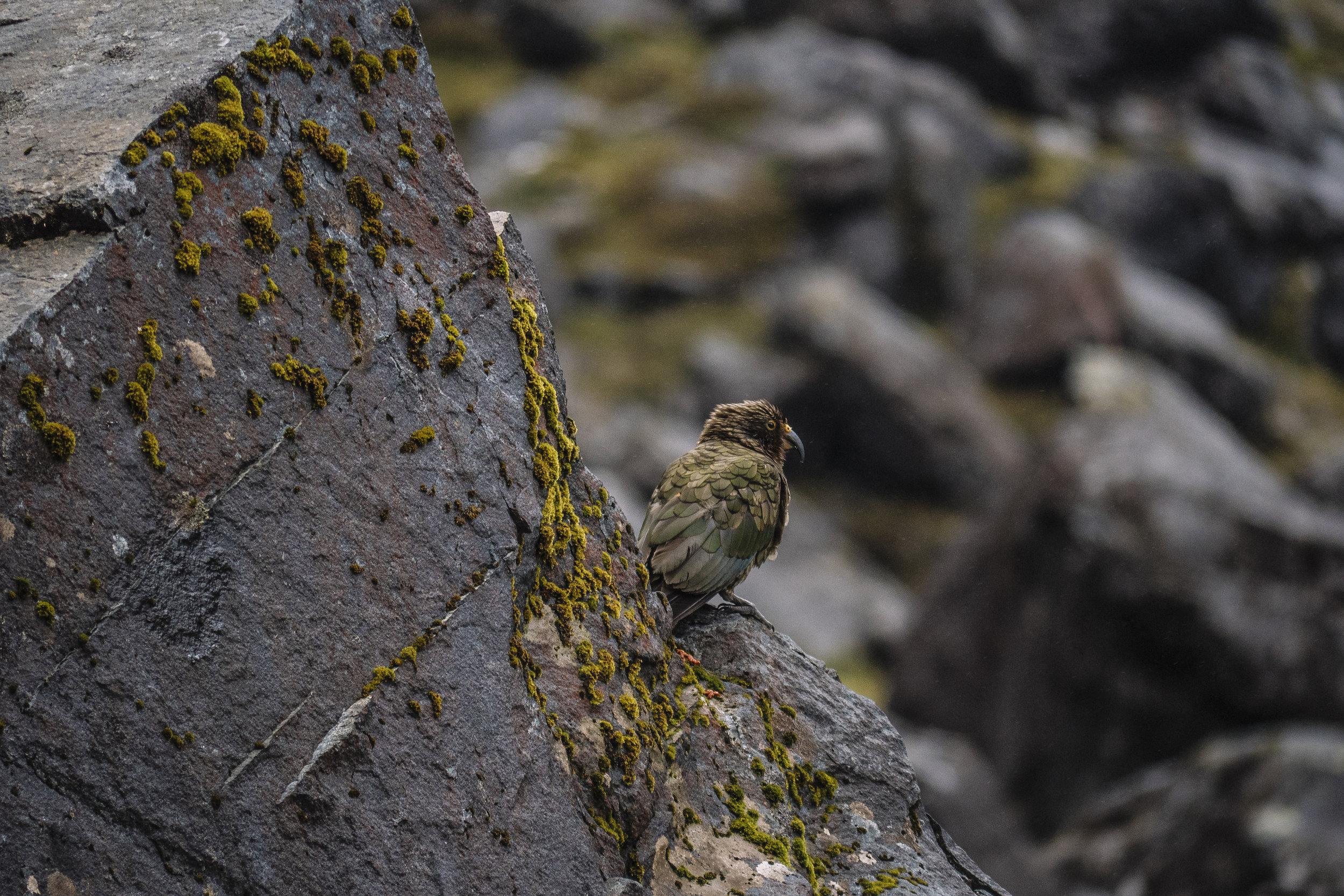 Kea - Fjordlands National Park, New Zealand - 2016