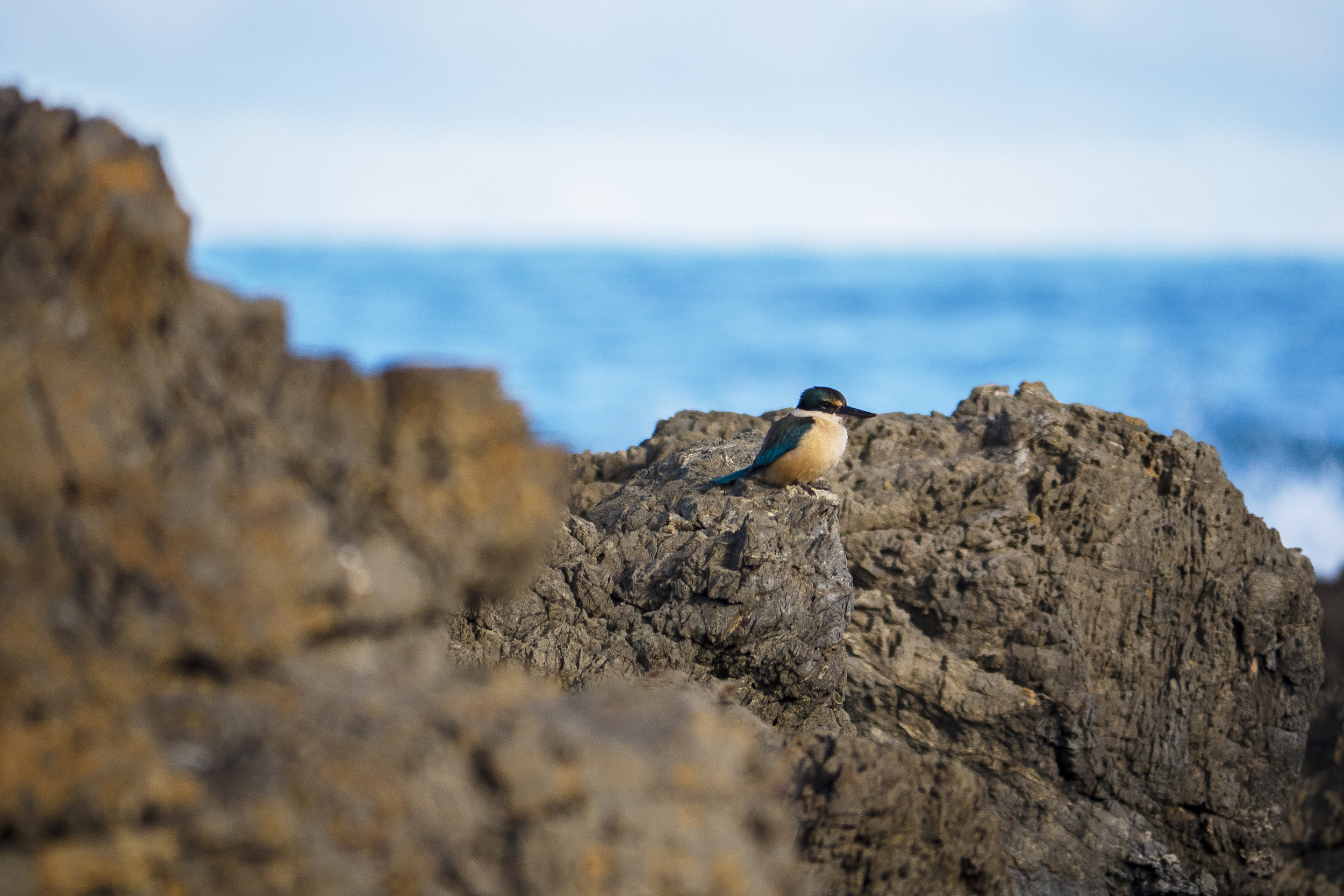 Sacred Kingfisher - Owhiro Bay, New Zealand - 2017