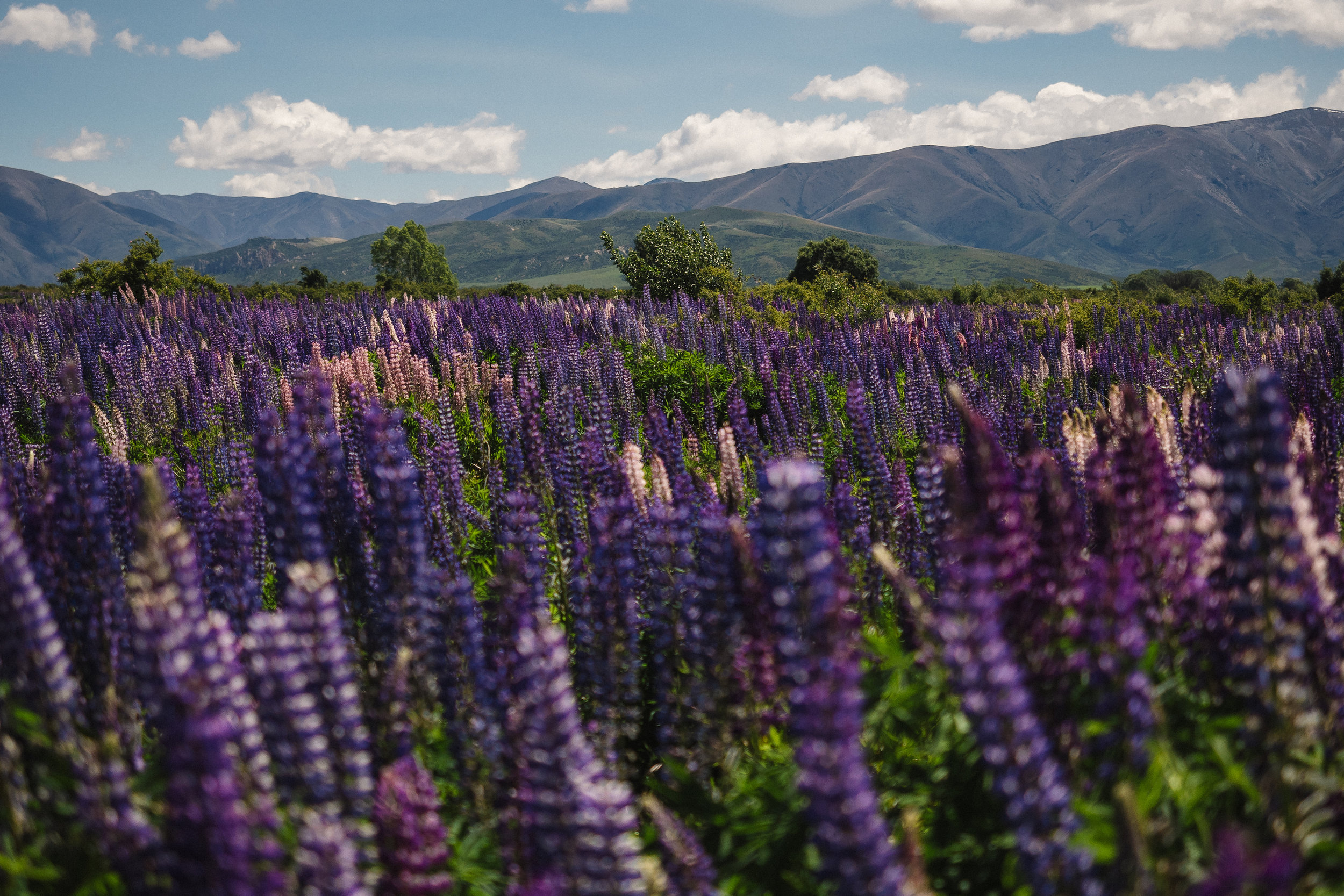 Field of Lupines - Otago, New Zealand - 2016