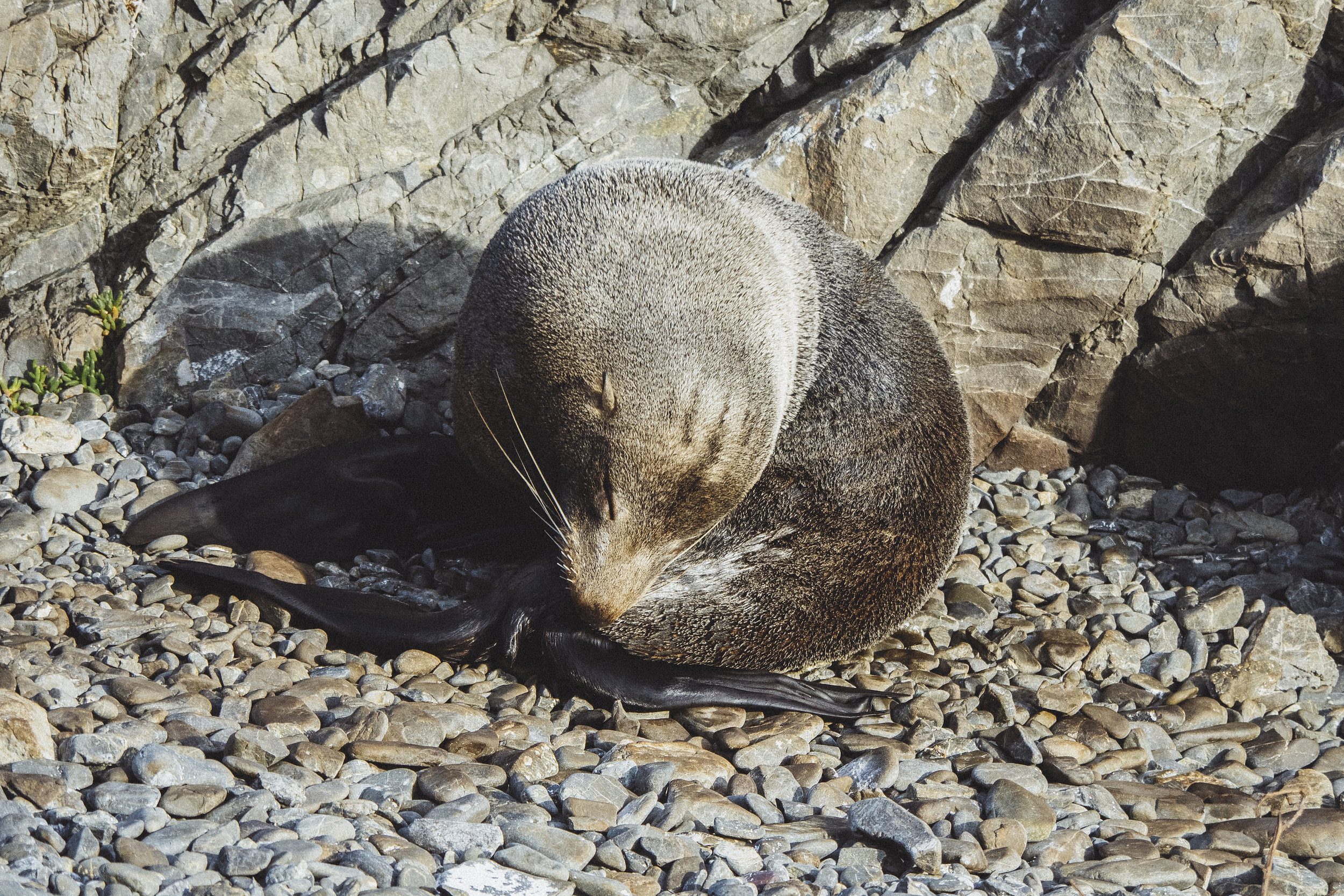 Fur Seal - Red Rocks, New Zealand - 2017