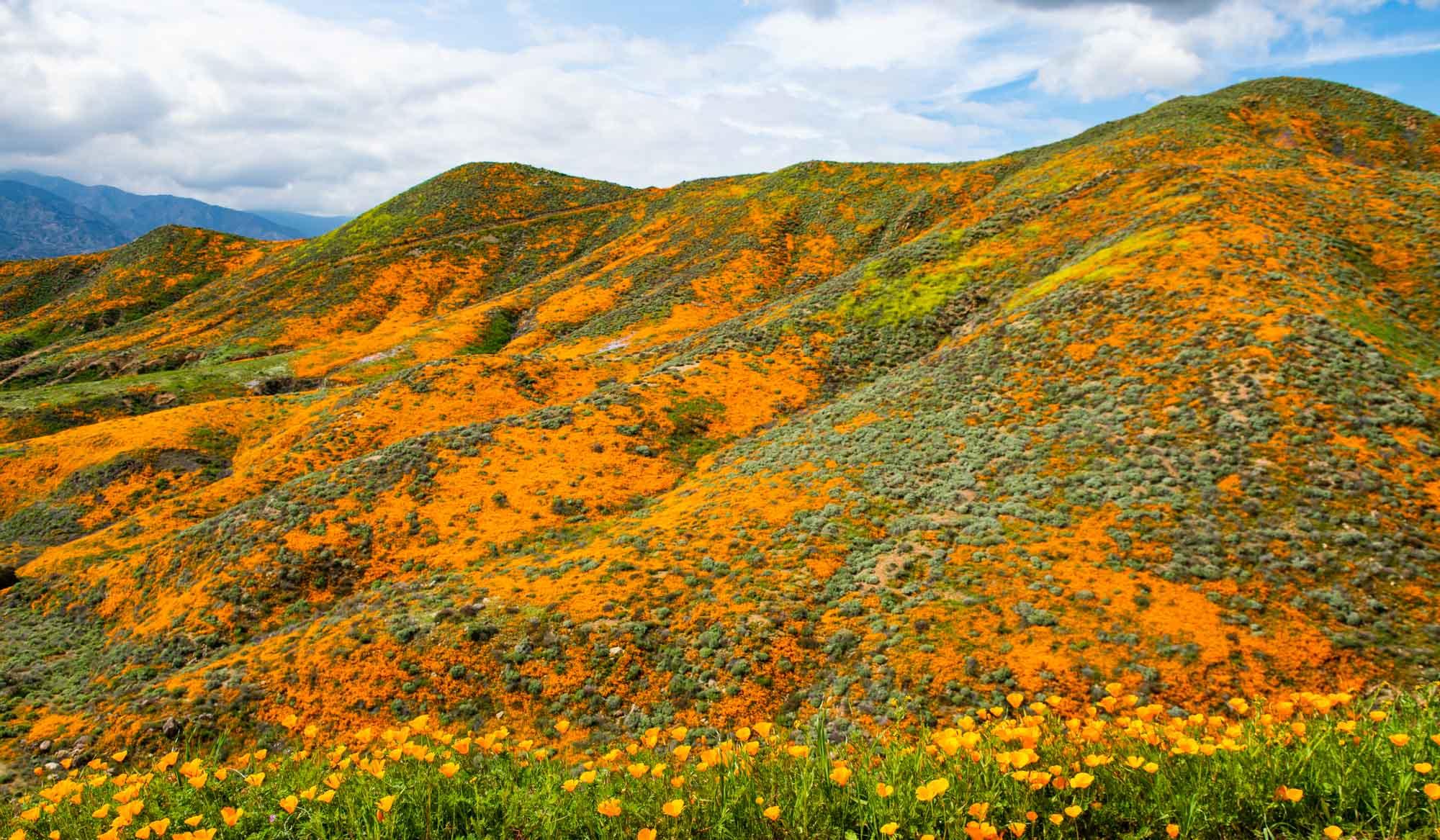 Poppy fields in Walker Canyon, California