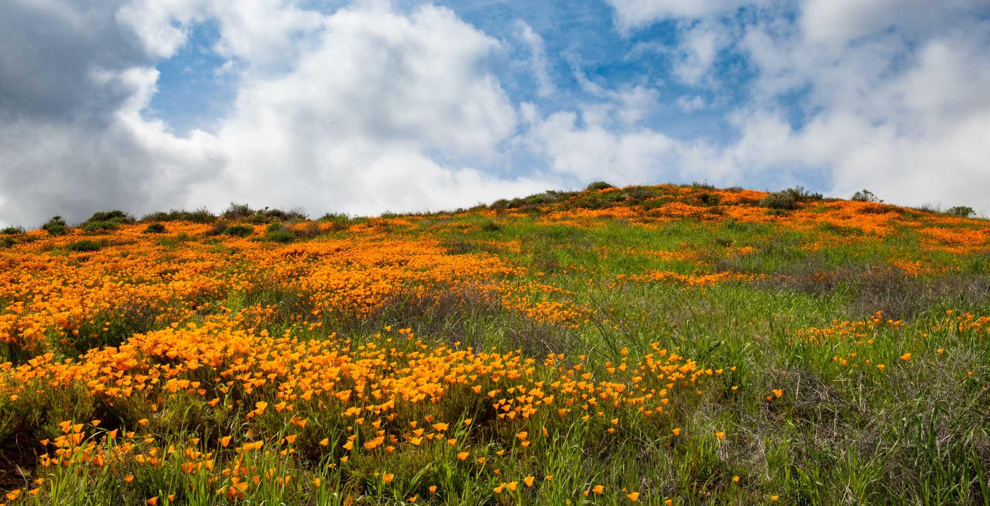 california-poppies-walker-canyon-2.jpg