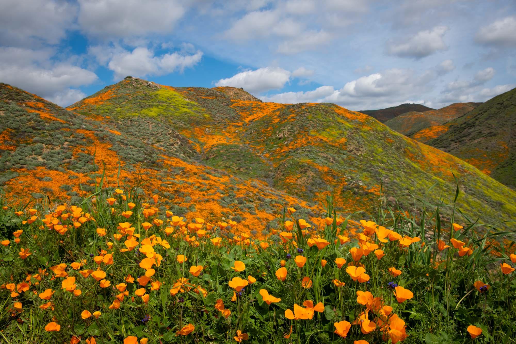 california-poppies-walker-canyon-4.jpg