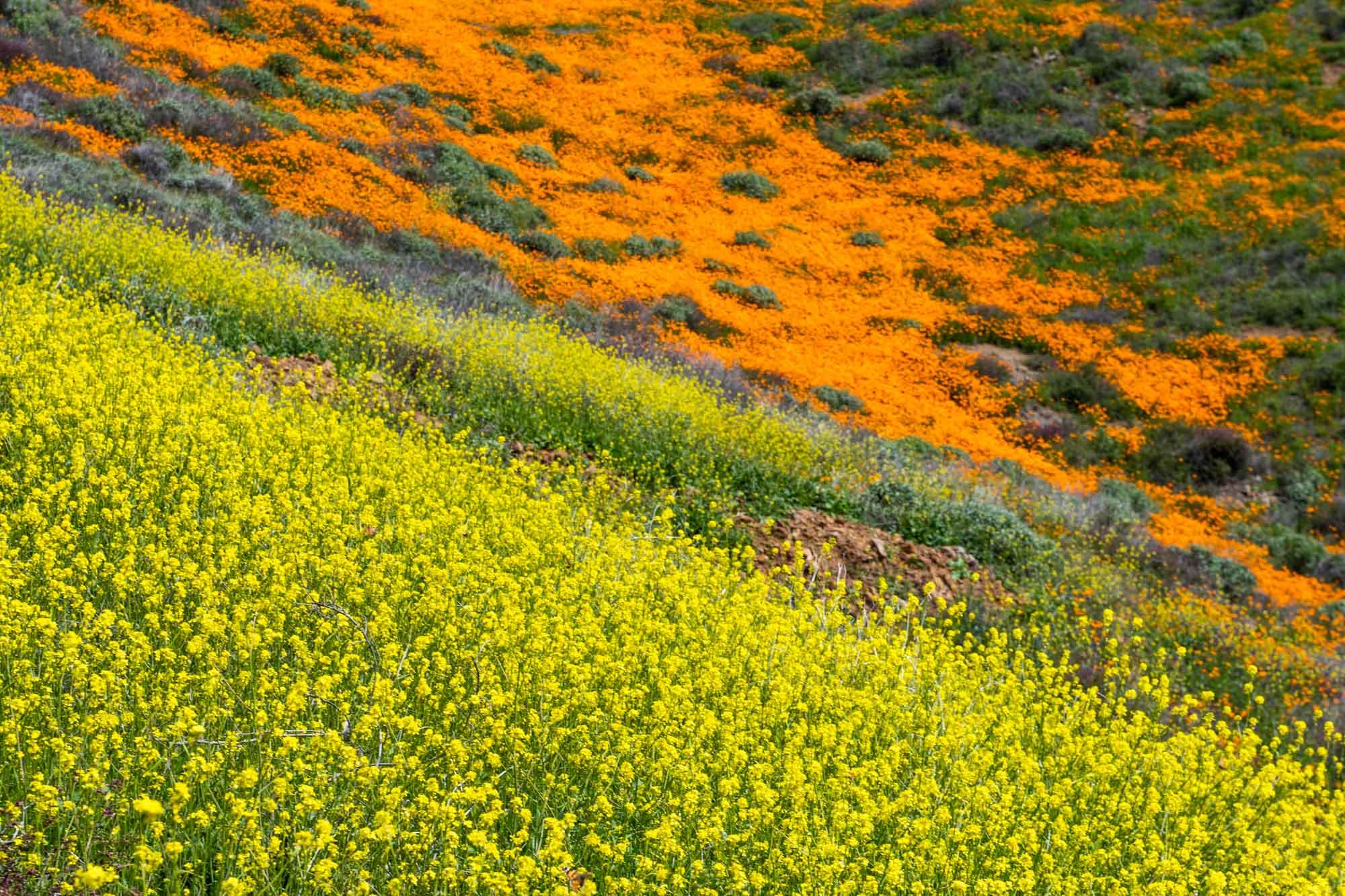 california-poppies-walker-canyon-6.jpg