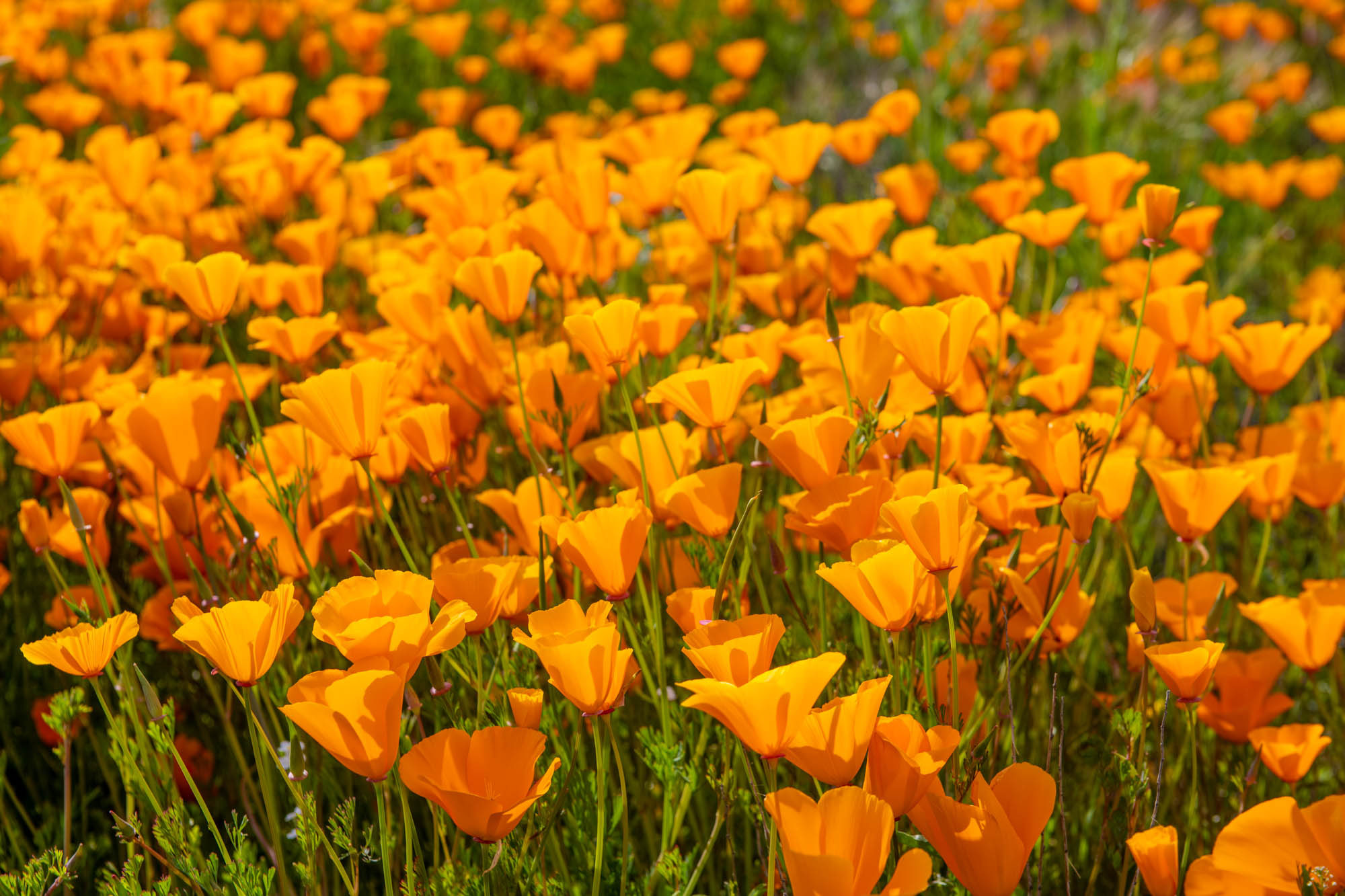 california-poppies-walker-canyon-8.jpg