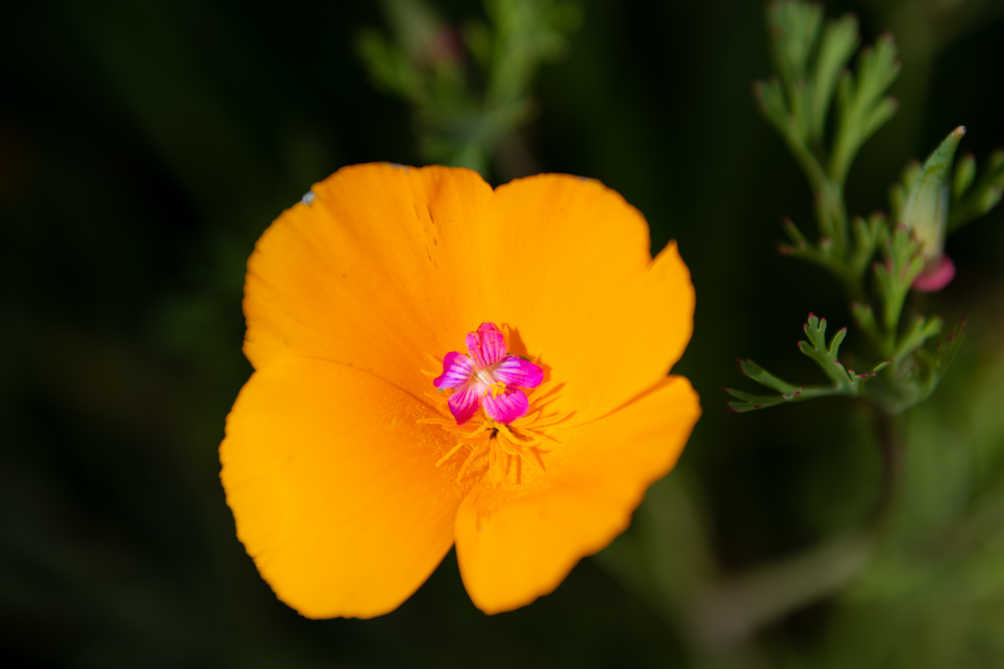 california-poppies-walker-canyon-9.jpg
