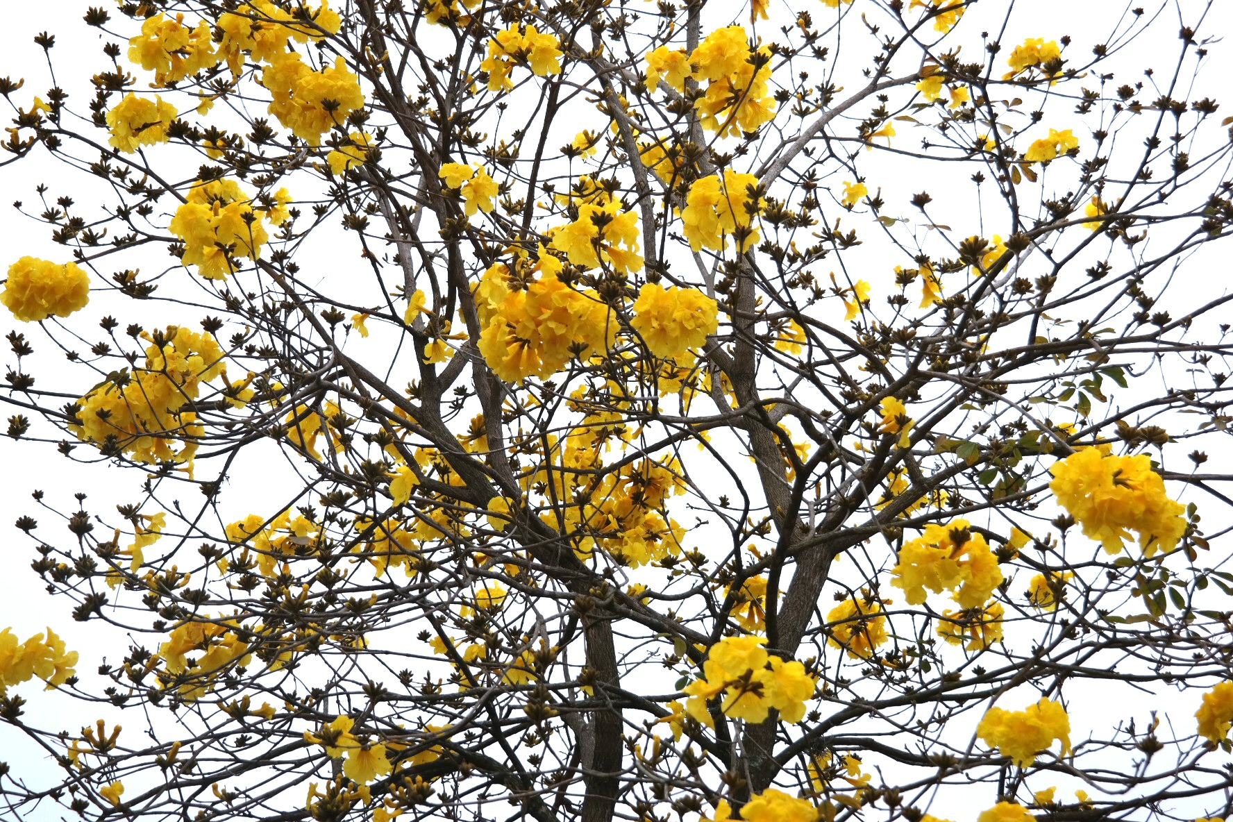 Epcot_Yellow_Tree_Rev.jpg