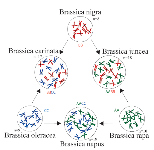 "The famous ""Triangle of U"" hypothesis of relationships among the diploid and allopolyploid species of  Brassica . Originally proposed by  Woo Jang-choon . Image from  wikipedia ."