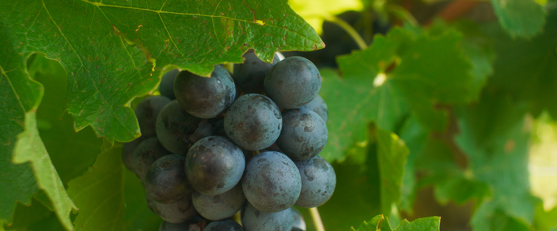 Botticino grapes