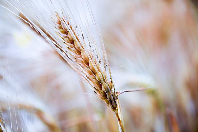Wheat grain.jpg