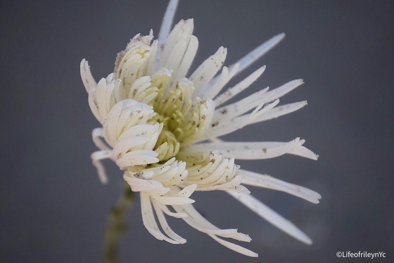 beach flower.JPEG