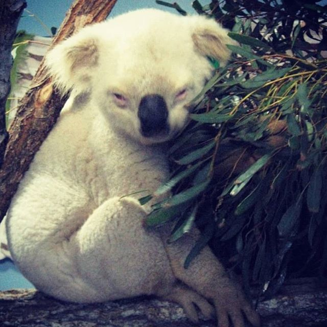 Chin up my buddy, Albino Koala is BACK in all smokeable forms Grams! Eighths! Ounces! #RavenSmokes !! Happy koala days are here again.