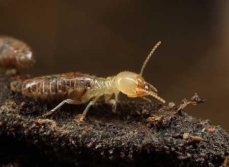 Termites -