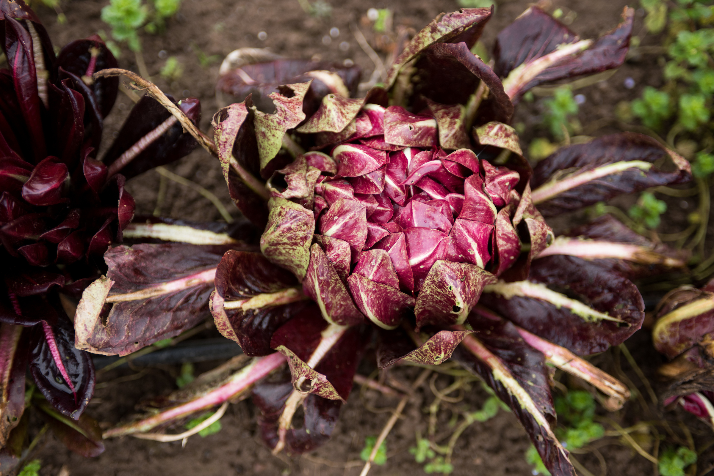 """Beautiful """"Arch Cape"""" Treviso-type radicchio developed by Anthony & Carol Boutard at Ayers Creek Farm in Gaston, OR. Photo by Shawn Linehan."""