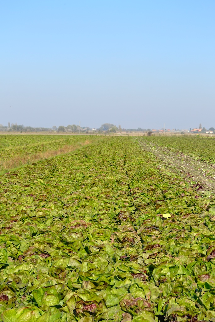 T&T Chioggia type chicories being trailed on a farm scale in Italy.