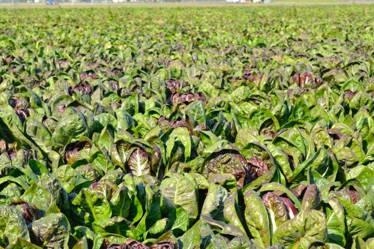 A field of Treviso type radicchio in early November in Chioggia.