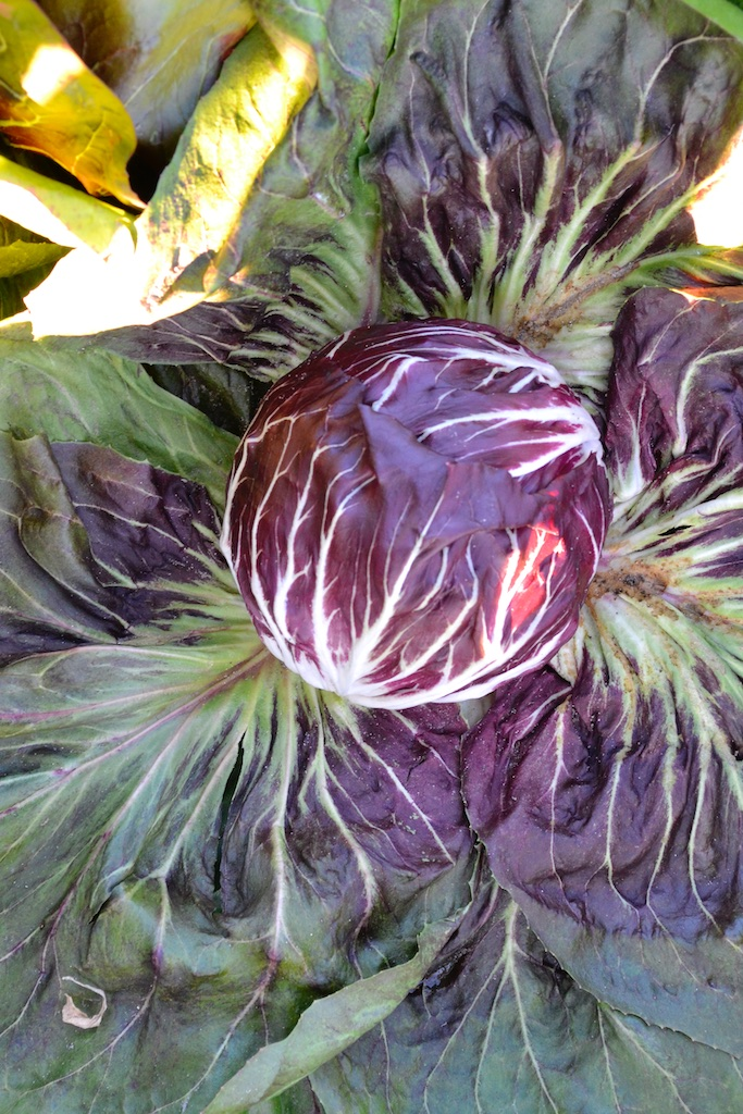 A beautiful head of chioggia type radicchio in the field. The outer leaves have been pushed down to reveal the tight head.