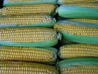 corn-1545318-640_1.jpg