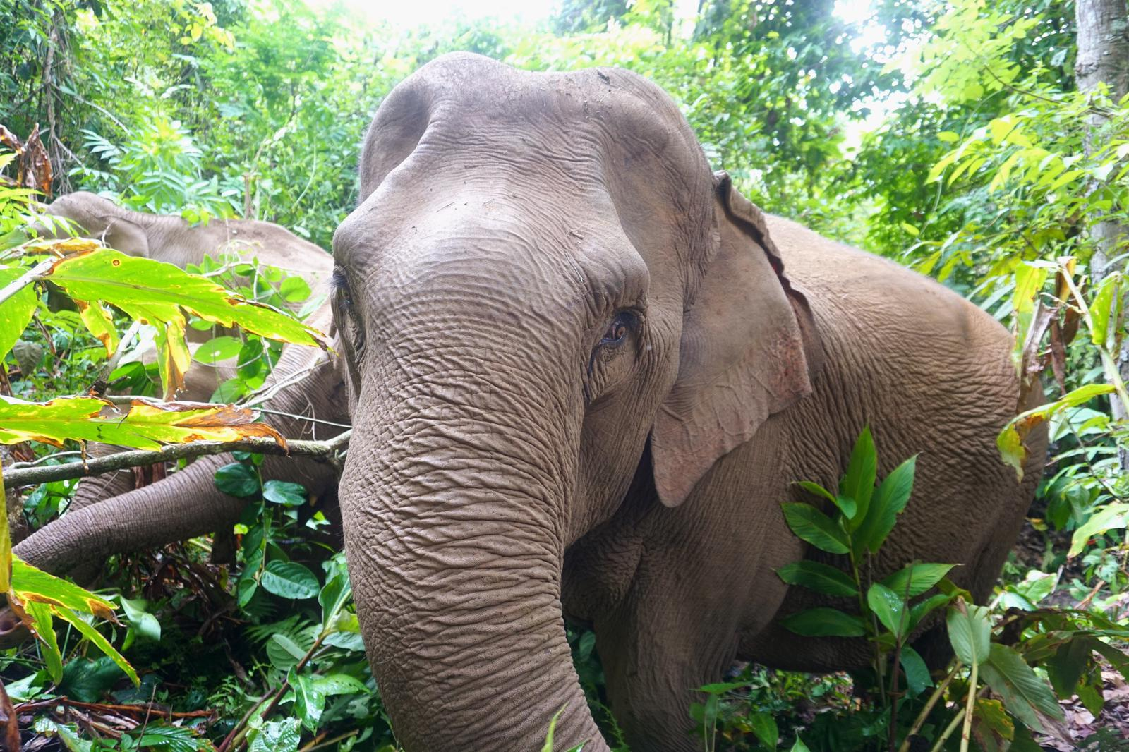 Mo Mo Lo, 35 years old, is one of the first elephants Never Forget Elephant Foundation brought home. She used to give rides to tourists in Chiang Mai and now spends her days living as nature intended in the jungle.