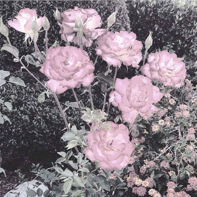 faded-roses-in-bloom-spring-2016_t20_QQg92j.jpg