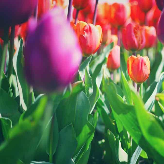 colorful-tulips_t20_6wQjP6.jpg