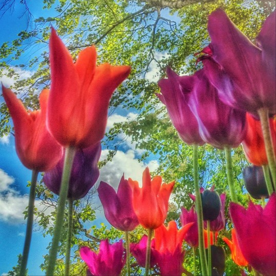 nominated-strong-colorful-spring-tulips-striving-to-the-blue-sky-with-clouds-birch-trees-in_t20_LzkoYZ.jpg