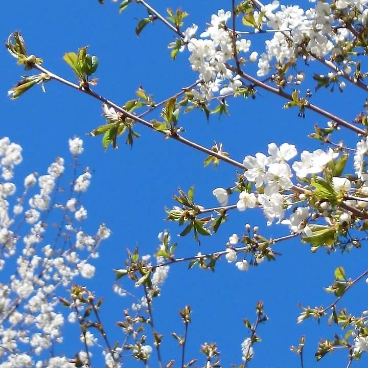 white-blossom-bloom-and-green-spring-leaves-on-fruit-tree-in-spring-maybe-pear-plum-apple-cherry-i_t20_KvmLNx.jpg