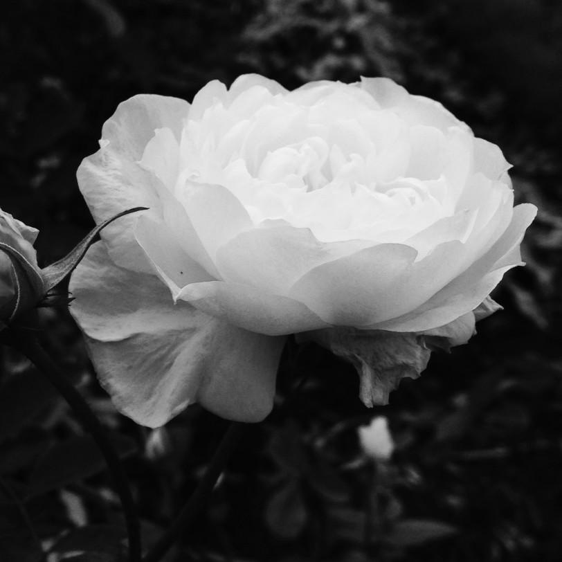 white-rose_t20_mWljzg.jpg