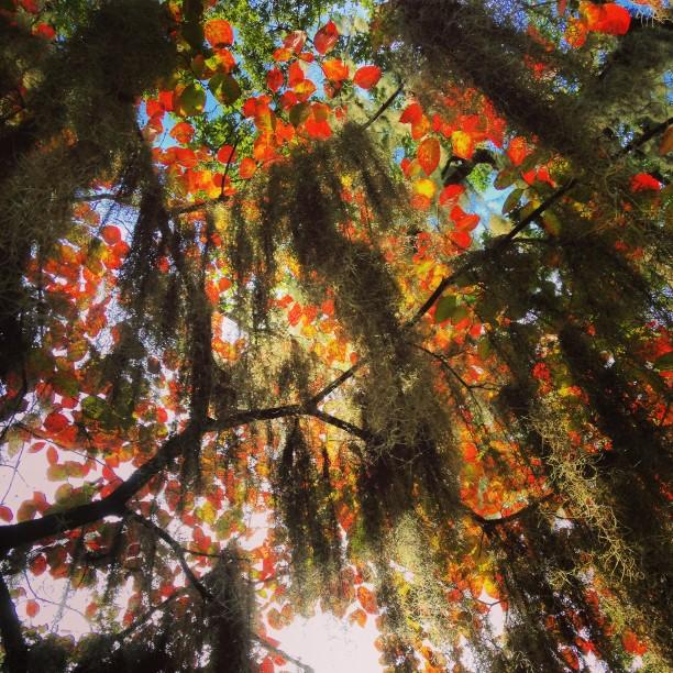 spanish-moss-with-orange-leaves_t20_WmOZoY.jpg