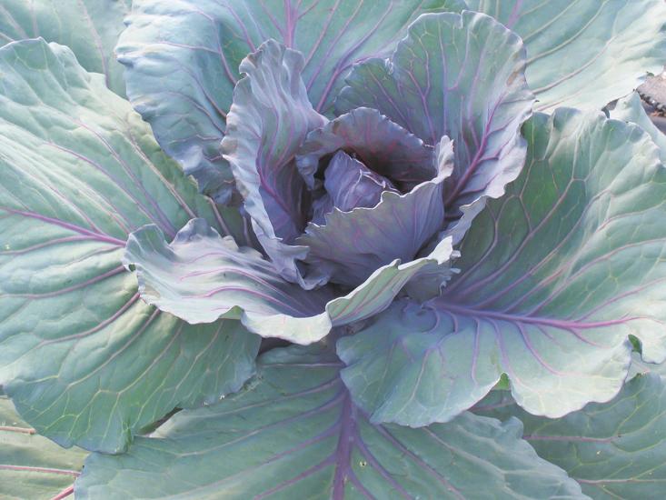cabbage 4.jpg