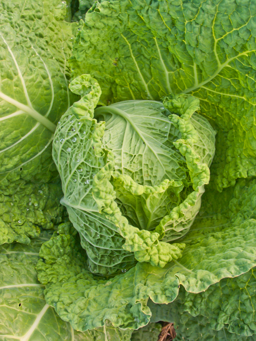 cabbage 16.jpg