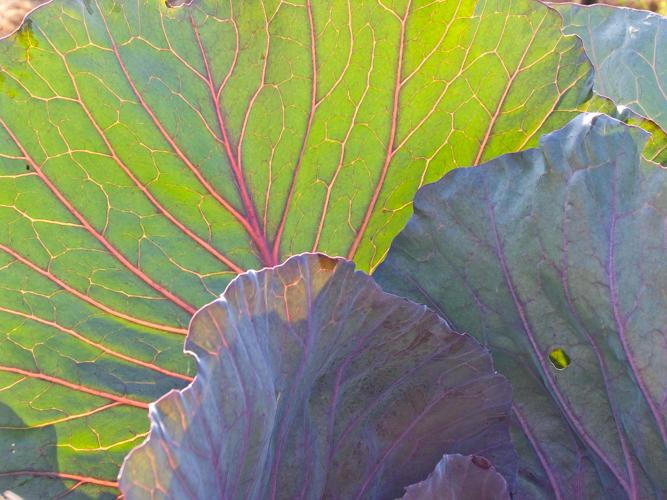 cabbage 14.jpg