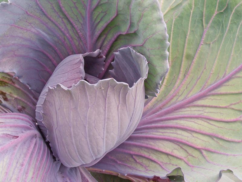 cabbage 9.jpg