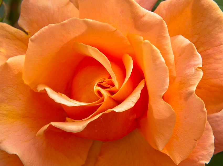 roses 9.jpg