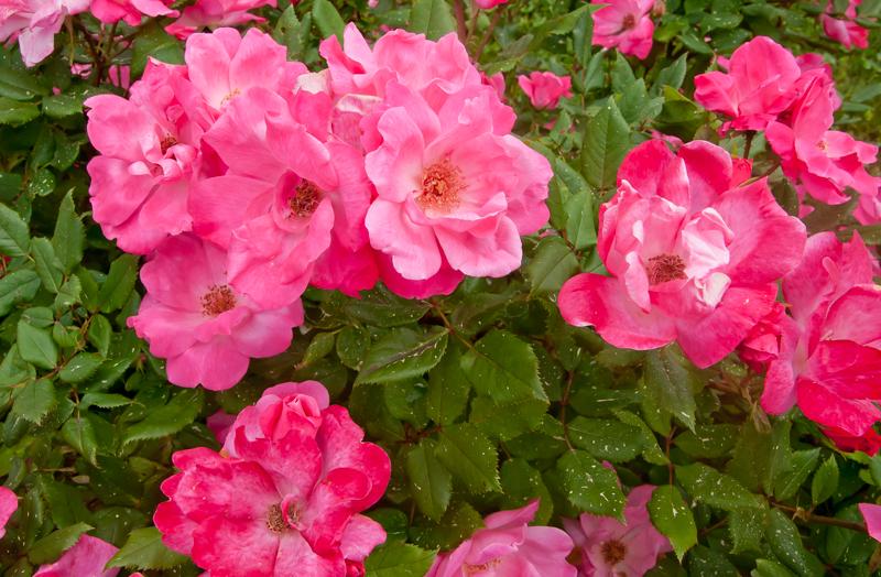 pink roses 2.jpg