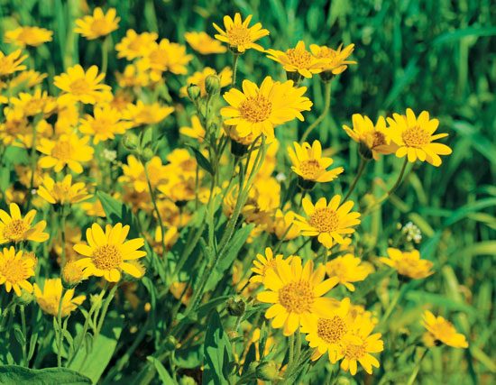 Arnica   Arnica is an herb that grows mainly in Siberia and central Europe, as well as temperate climates in North America. The flowers of the plant are used in medicine to assist in treating pain & swelling associated with bruises, aches, & sprains. It is also applied to the skin for insect bites, arthritis, muscle & cartilage pain, chapped lips, and acne.