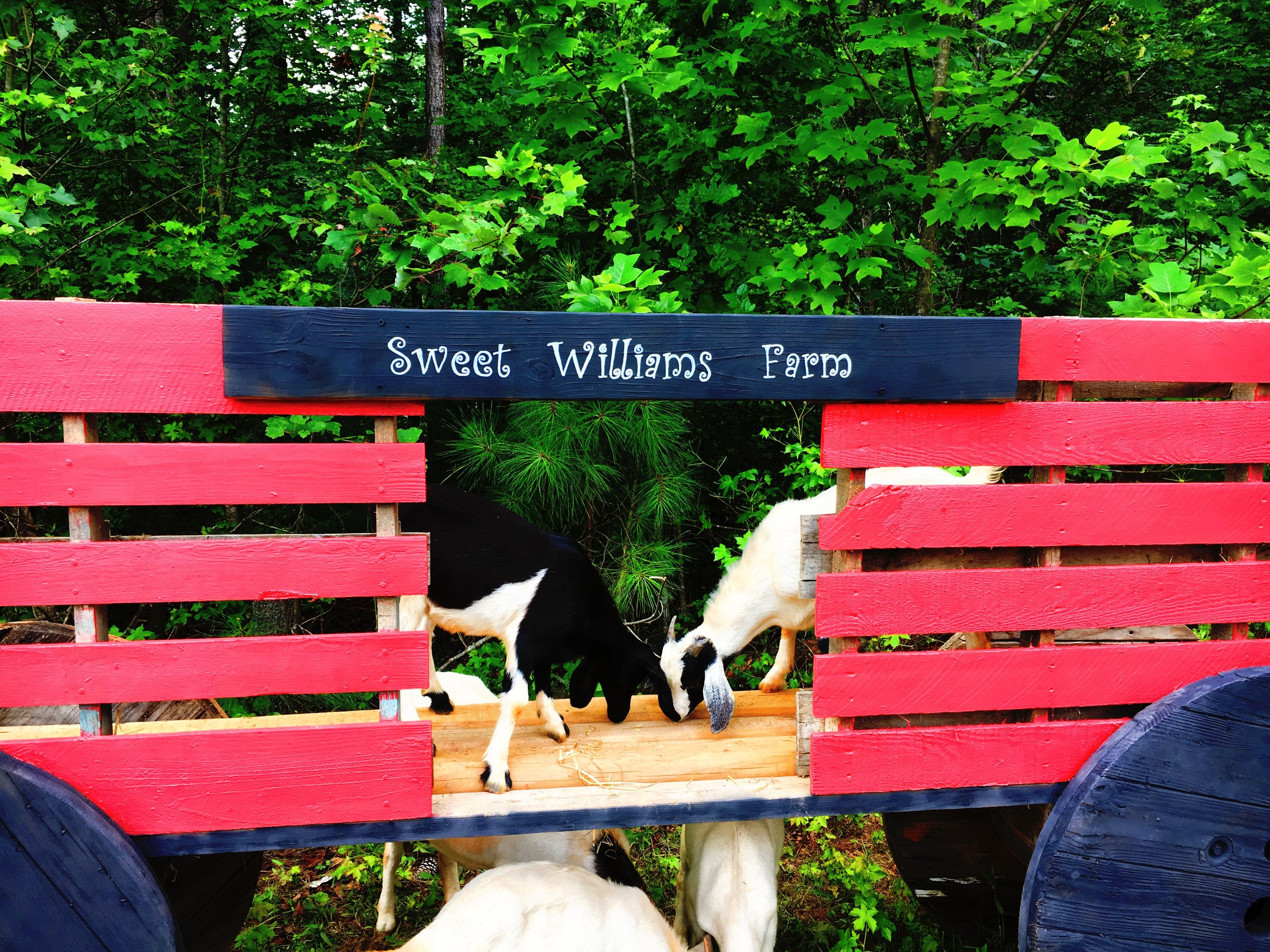 Sugar and Cream (our first goats at Sweet Williams Farm)