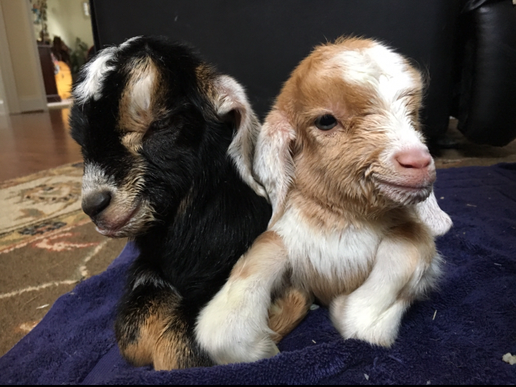 Benji and AnnaBelle, The first babies born on the farm, March 2018. This photo was taken on day they were born.
