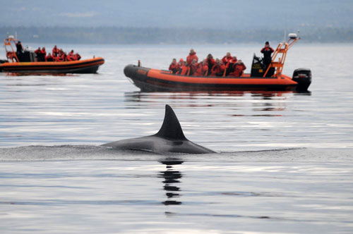 Vessel disturbance is interfering with the SRKW's ability to forage successfully in their core critical habitat. - The status of the Southern Resident population is so poor, it has no tolerance for human caused disturbance.