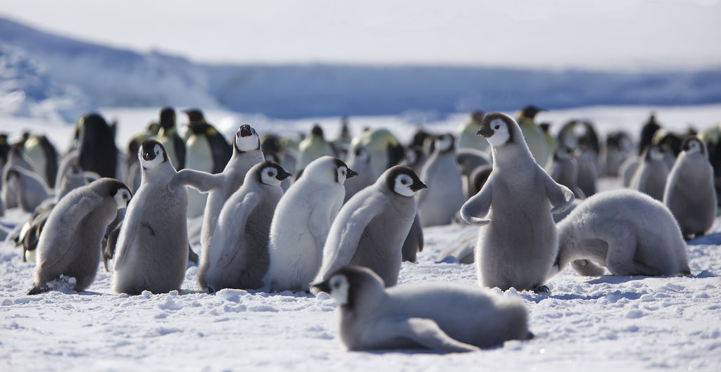 CLimate change not just effecting us - Antarctica: Thousands of emperor penguin chicks wiped out