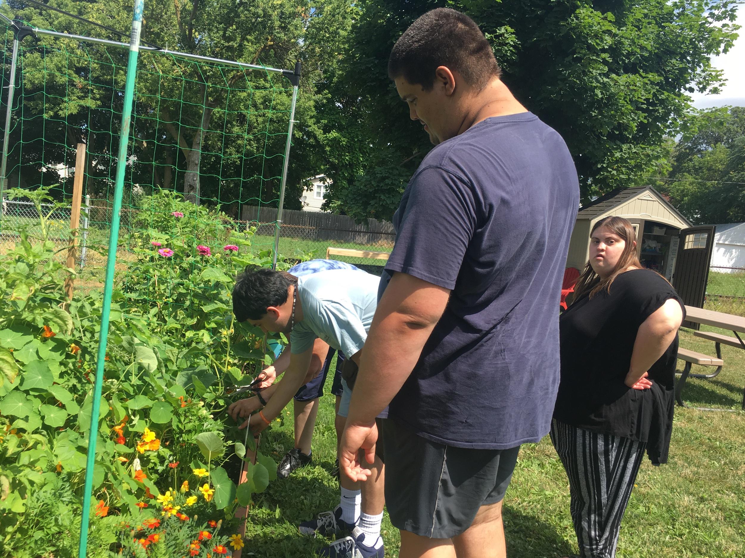 Picking cucumber
