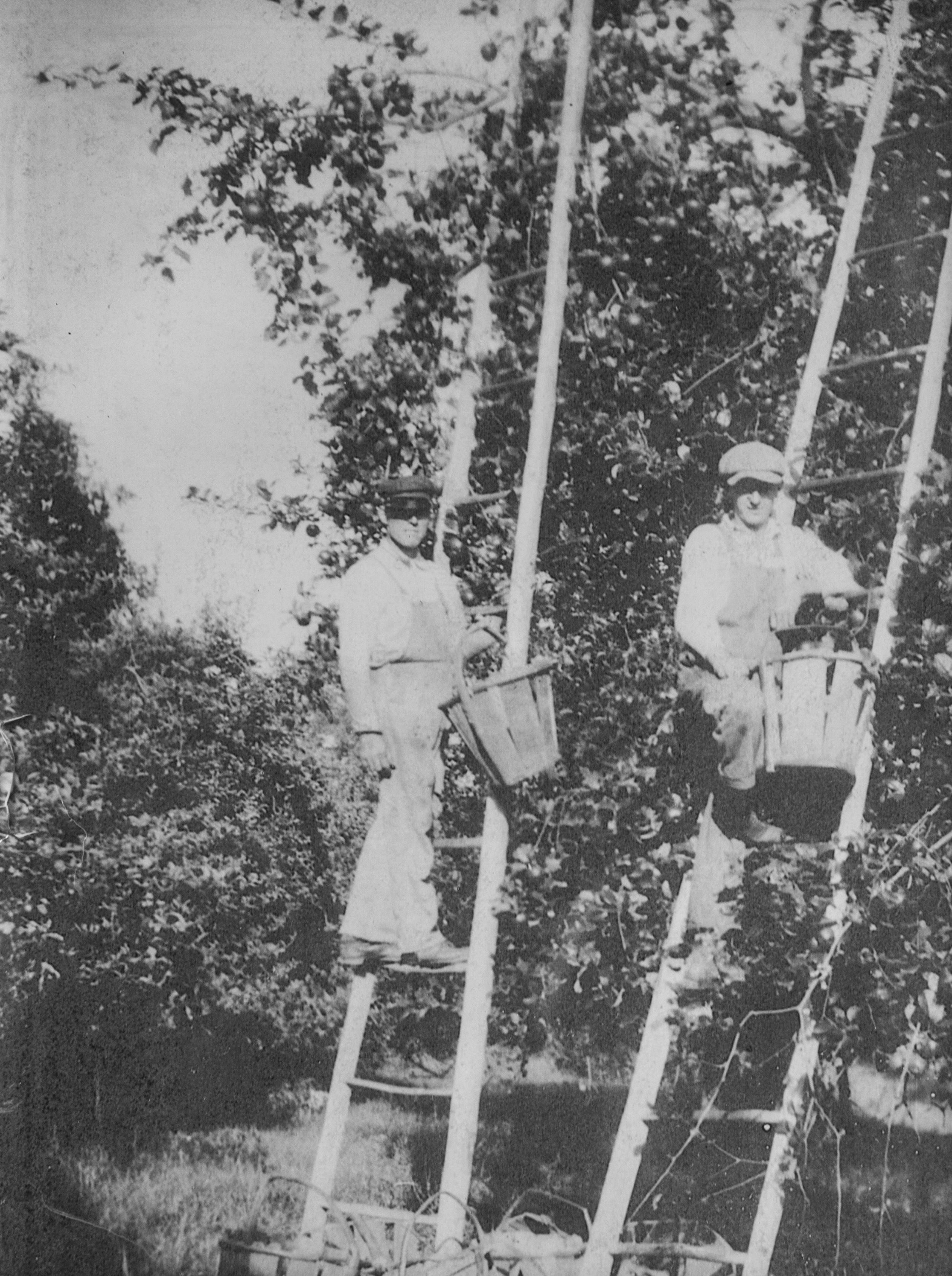D.H. Way picking apples in 1915.