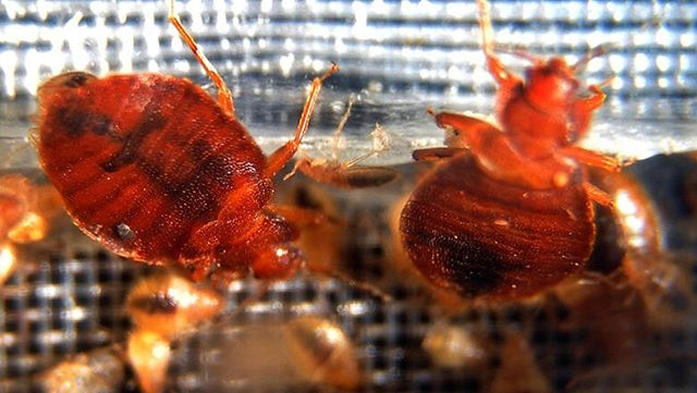 They are everywhere.. https://www.iheart.com/content/2019-02-05-court-forced-to-close-early-after-bedbugs-fall-off-lawyers-clothing/?sc=editorial&pname=local_social&keyid=WAIO