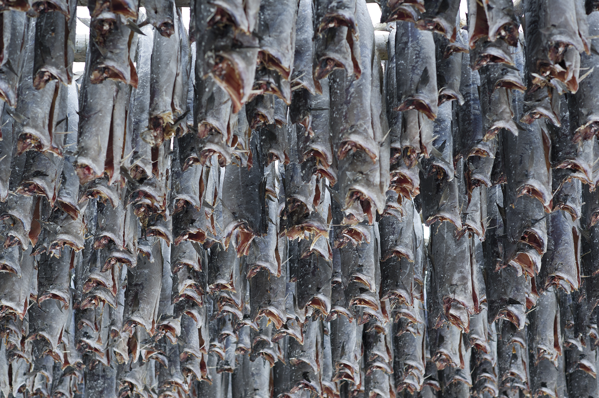 Stockfish. From the book The Lofoten Fishery.