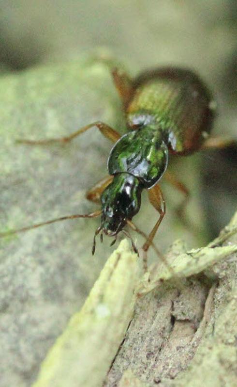 HV ground beetle.jpg