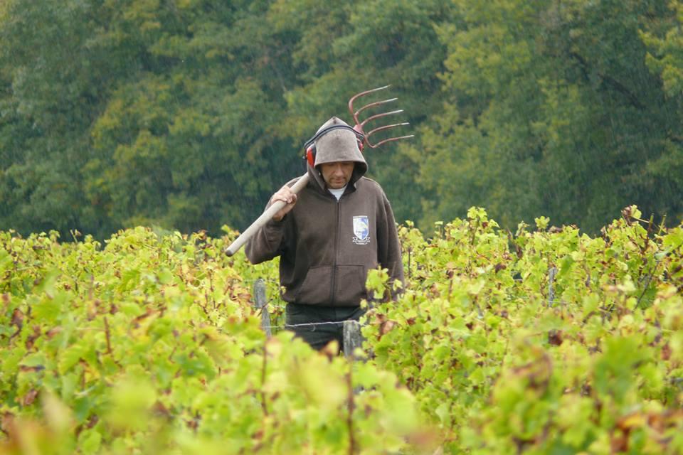Bernard Oct 24 2014 preparing for ploughing between vines.jpg